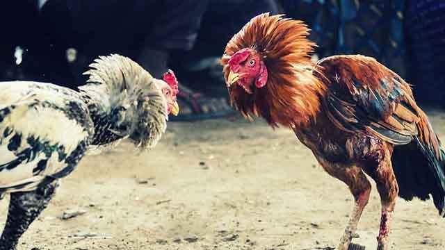 Agen Judi Sabung Ayam Online Uang Asli