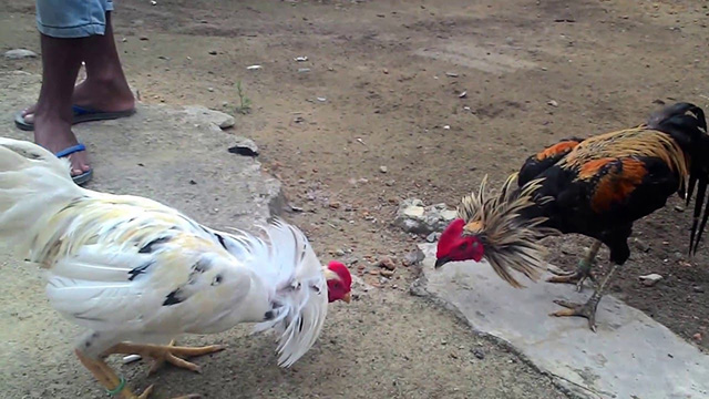 Menang Sabung Ayam S128