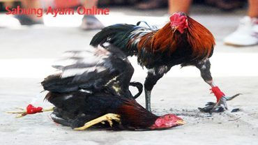 Panduan Bermain Judi Sabung Ayam